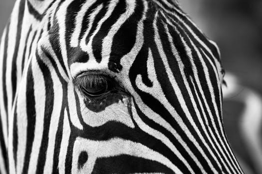 zebra-stripes-black-and-white-zoo-39245
